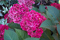 Bloomstruck Hydrangea (Hydrangea macrophylla 'P11HM-11') at Schulte's Greenhouse & Nursery