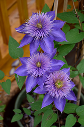 Multi Blue Clematis (Clematis 'Multi Blue') at Schulte's Greenhouse & Nursery