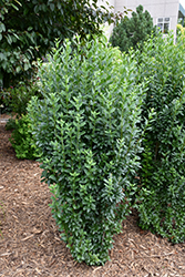 Straight Talk™ Common Privet (Ligustrum vulgare 'Swift') at Schulte's Greenhouse & Nursery