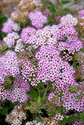 Little Princess Spirea (Spiraea japonica 'Little Princess') at Schulte's Greenhouse & Nursery
