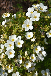 McKay's White Potentilla (Potentilla fruticosa 'McKay's White') at Schulte's Greenhouse & Nursery