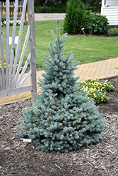 Sester Dwarf Blue Spruce (Picea pungens 'Sester Dwarf') at Schulte's Greenhouse & Nursery