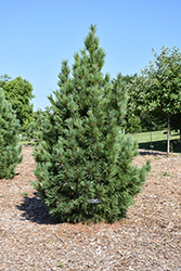 Chalet Swiss Stone Pine (Pinus cembra 'Chalet') at Schulte's Greenhouse & Nursery