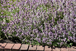 Common Thyme (Thymus vulgaris) at Schulte's Greenhouse & Nursery