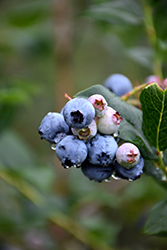 Chippewa Blueberry (Vaccinium 'Chippewa') at Schulte's Greenhouse & Nursery