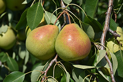 Parker Pear (Pyrus 'Parker') at Schulte's Greenhouse & Nursery
